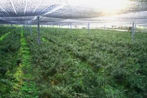 Lalin Yew Tree Plantation